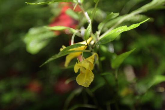 鎮西堡古道一片美麗的黃花慕隸華鳳仙