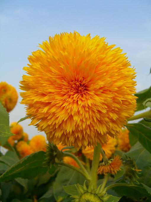 另類的向日葵