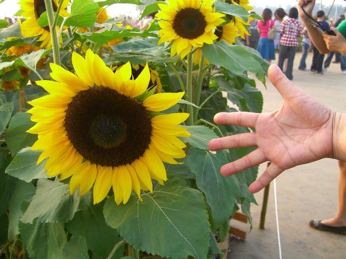好大朵的向日葵