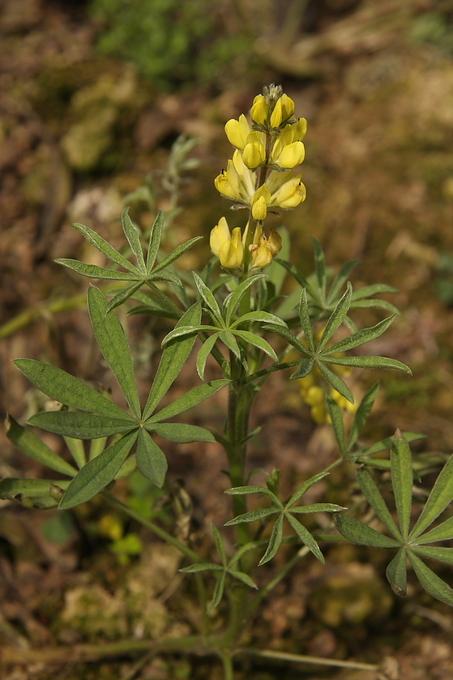 黃花羽扇豆