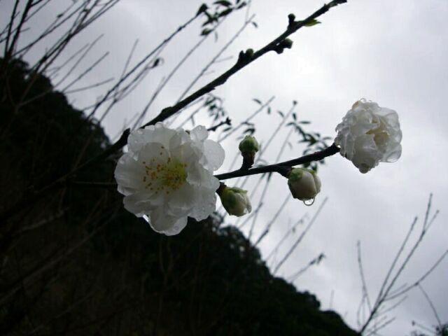 970217貓空賞花(春節聯歡)-3
