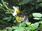 2/27生態社活動_新店和美山自然步道的紅肩粉蝶