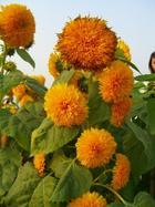 另類的向日葵-1