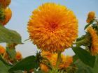 另類的向日葵-2