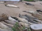 加州 Año Nuevo 州立 象海豹 保護區