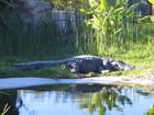 日光浴的小鱷