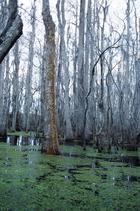 美國紐奧良郊區swamp 沼澤區樹林景緻