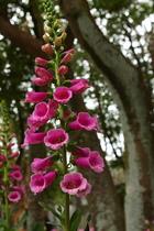 毛地黃 -花卉試驗中心