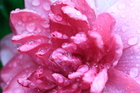 茶花--似梨花帶淚