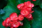 四季秋海棠--台北花卉試驗中心苗圃