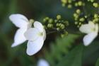 早春的崋八仙 八仙花科