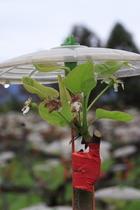 有趣撐傘的上將梨花