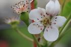 梨花---三星上將梨