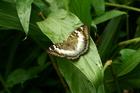 台灣綠蛺蝶