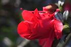 救天宮前的杜鵑花