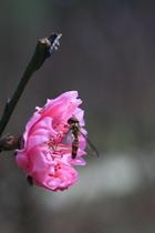 複瓣桃花---杏花林蜜蜂巡幸