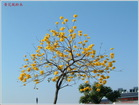 黃花風鈴木