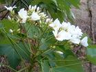油桐花與螳螂