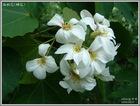 油桐花(雌花)
