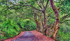 貓蘭山步道錫蘭橄欖的紅葉舖地 ,最是浪漫